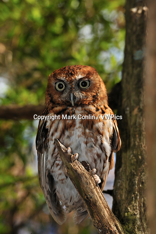 Eastern screech owl, Megascops asio, Florida, captive