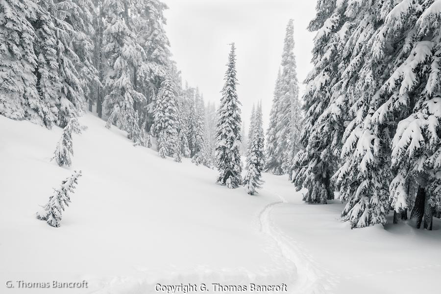 The wind was strong and snow was coming down briskly.  I headed for the Nisqually Vista to see what i could find.  The trees were cloaked in fresh snow and gradually disappeared into the falling snow.  I looked for a way to capture the moment.