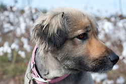 German Shepherd Dog looking off