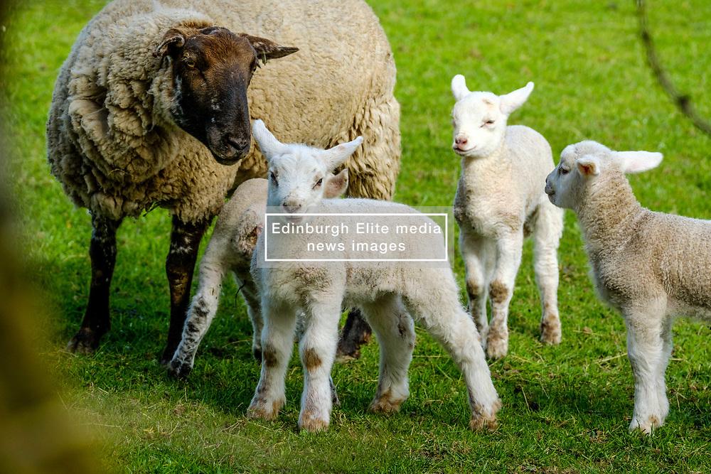 A group of new born lambs on a farm in the Scottish borders<br /> <br /> (c) Andrew Wilson   Edinburgh Elite media