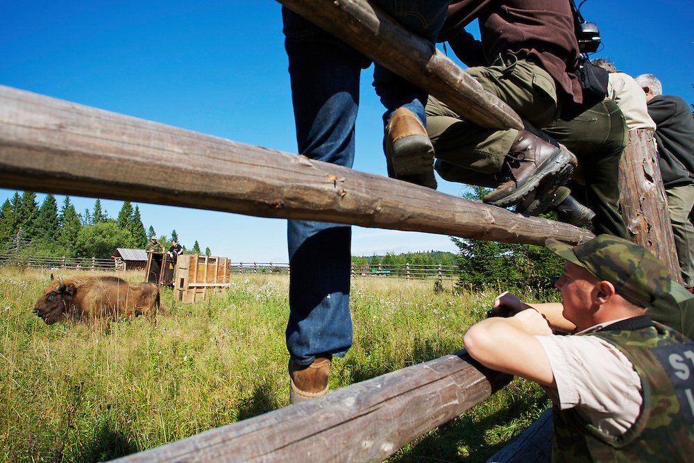 Staff of Bieszczady National park watching two year-old male European Bison or Wisent (Bison bonasus) in an accomodation enclosure in Bieszczady National Park shortly after its release. The bison was donated by Prague Zoo. Bukowiec, Poland.