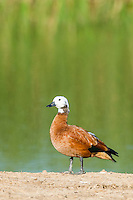Female South African Shelduck, Addo Elephant National Park, Eastern Cape, South Africa