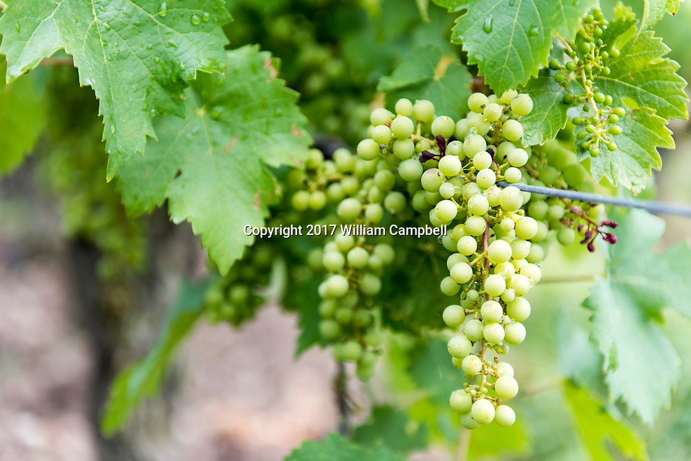 Young Cabernet Franc grapes at the Charles Joguet winery and vineyards in Sazily in the Chinon wine region of the Loire Valley.