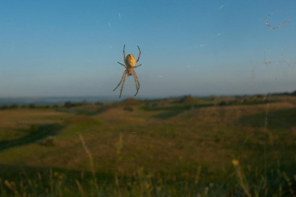 Orb weaver spider (Meta sp) in Moldova near adurea Domnesca National Park