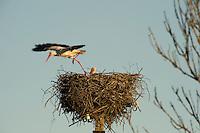 White stork, (Ciconia ciconia), Matsalu nature reserve, Estonia