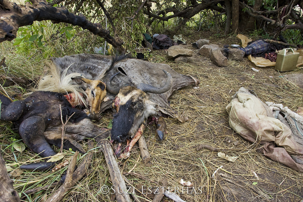 Poacher's camp with hides, meat, skulls, of wildebeest and impala<br /> Found and confiscated by Mara Conservancy rangers<br /> Serengeti National Park, Tanzania