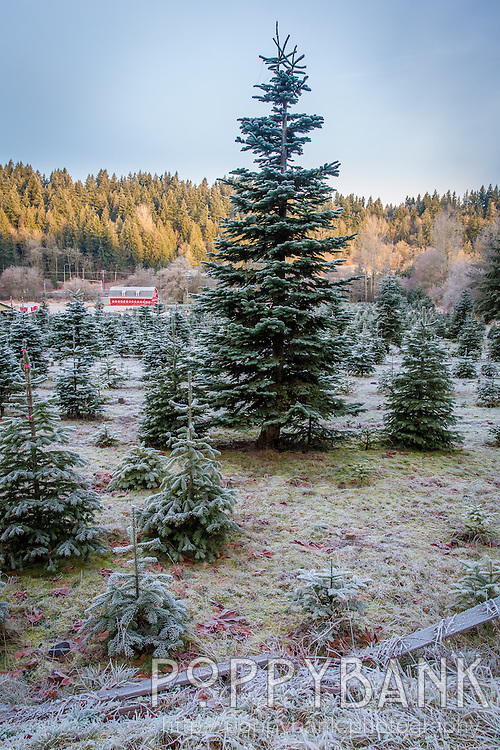 The sun rises over future Christmas trees at Serres Farm in Sammamish, Washington on a frosty winter morning