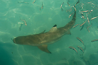 Black-Tipped Reef Shark encircled by small reef fish in the shallows of D'Arros Island, D'Arros Island and St Joseph Atoll, Amirantees, Seychelles,
