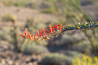 Close-up of the flowers of the ocotillo, a somewhat common Southwestern plant found in most of the Sonoran and Chihuahuan Deserts. In the spring, the long, thorny spines sprout small green leaves and brilliantly orange flowers from the mature stems that attract and are pollinated by hummingbirds and carpenter bees. This one was found way out in SE California near the Arizona Border in Imperial County.