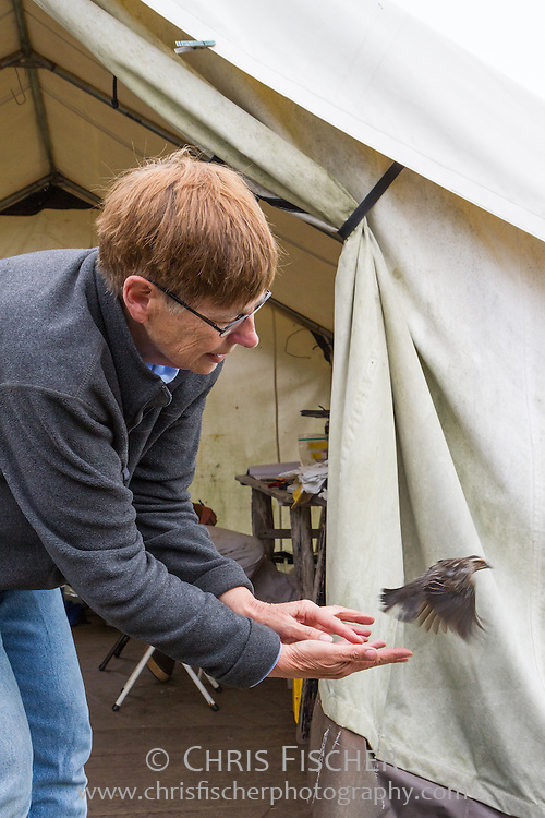 A field researcher releases a female Red-winged Blackbird following banding on Stratton Island, Maine.