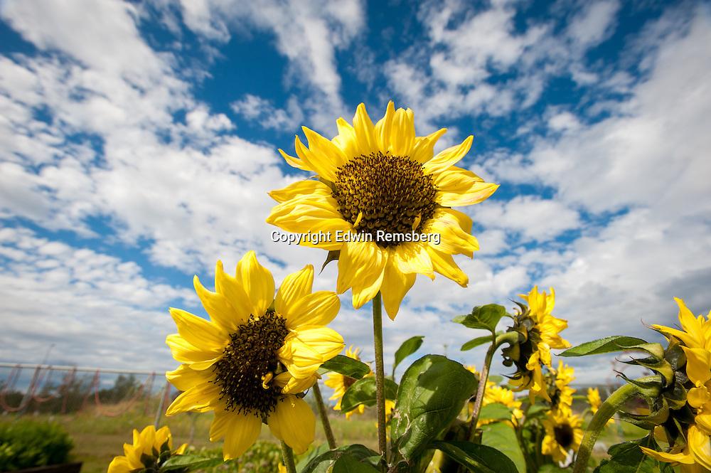 Sunflower (Helianthus annuus) growing on an Alaskan farm