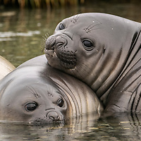 Two southern elephant seal weaners cuddle together in a stream at Gold Harbour on South Georgia Island.