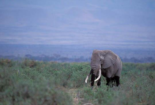 African Elephant, (Loxodonta africana)  Bull in bushveld. Kenya. Africa.