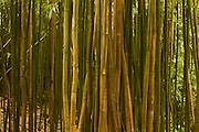 Bamboo forest in Manoa Valley, Oahu, Hawaii