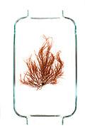 Red marine alga, probably Dumontia sp.