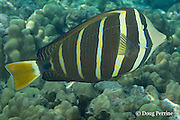 sailfin tang, ringed tang, sail-fin surgeonfish, or maneoneo, Zebrasoma veliferum, Kahaluu Beach Park, Keauhou, Kona, Hawaii ( Central Pacific Ocean )