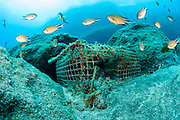 Azores Chromis, CHROMIS LIMBATA, swim around an abandoned fish trap on the Ilheus dive site in the channel between the islands of Faial and Pico, Azores, Portugal, North Atlantic Ocean.