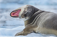 Leopard Seal, Hydrurga leptonyx on sea ice in Cierva Cove on on the Antarctic Peninsula in Antarctica.