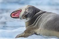 Leopard Seal, Hydrurga leptonyx on sea ice in Cierva Cove on on the Antarctic Peninsula in Antarctica.