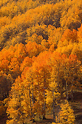 Soft light on orange and golden fall aspens in the San Juan Mountains, San Juan National Forest, Colorado USA