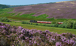 © Licensed to London News Pictures. 23/08/2015. Goathland, UK. The 76079 - BR Standard Class 4 2-6-0 locomotive passes through the flowering heather outside Goathland on the North Yorkshire Moors Railway. Photo credit : Anna Gowthorpe/LNP