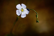 Flowers on Mt. Charleston in Nevada in the Mojave Desert...Flax, Linum lewisii