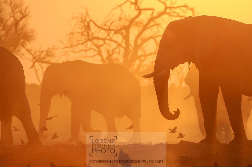 Impressionen  mit Elefanten-Bullen aus der Region Savuti im Chobe Nationalpark beim gelb-orangen Sonnenaufgang
