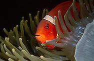 Spinecheek clownfish  (Premnas aculeatus)