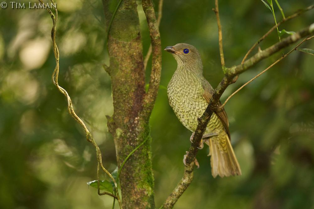 Satin Bowerbird (Ptilonorhynchus violaceus minor) adult female. .Rain forest of the Paluma Range National Park, Queensland, Australia.
