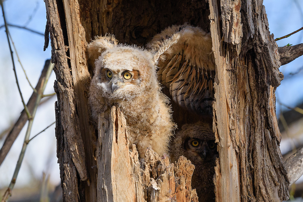 Owlets, Twin Lakes Open Space, Gunbarrel, Colorado