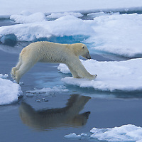 Polar bear leaping across an ice floe 500 miles from the North Pole north of Svalbard.