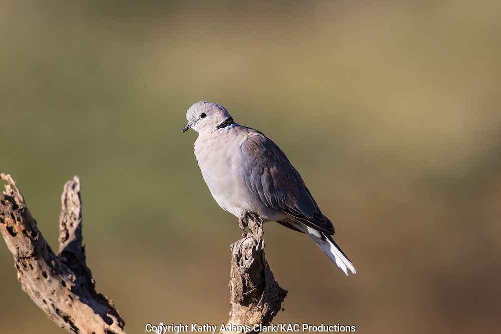 Ring-necked dove, Streptopelis capicola, near Ndutu, in the Ngorongoro Conservation Area, Tanzania, Africa.