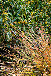 Anemanthele lessoniana syn Stipa arundinacea - New Zealand wind grass, Pheasant's tail grass -  with Hedera helix f. poetarum 'Poetica Arborea' - Poet's Ivy