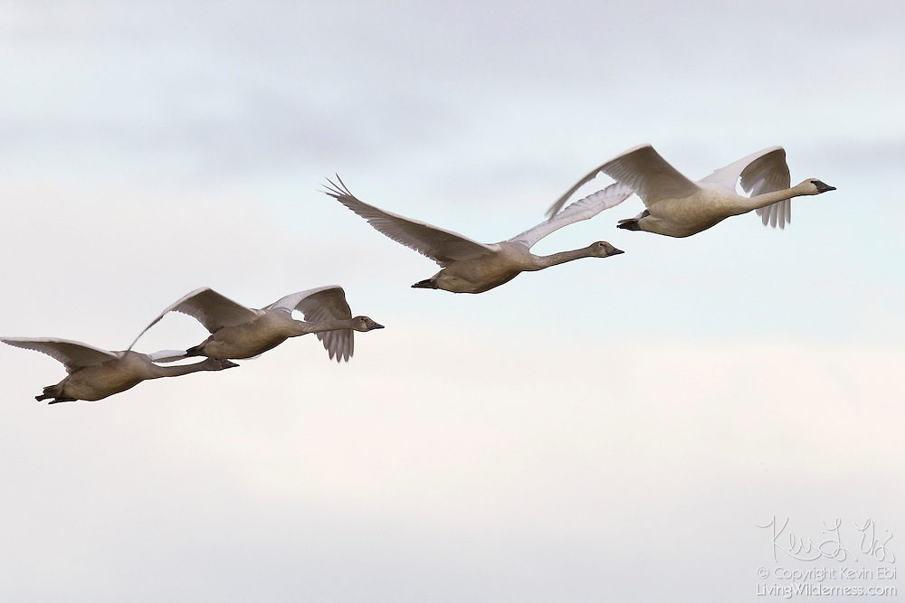 Four trumpeter swans (Cygnus buccinator) fly in formation over a farmer's field in the Skagit Valley of Washington state. Hundreds of swans and tens of thousands of snow geese spend the winter in the area known as the Skagit Flats.