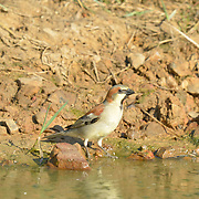 The plain-backed sparrow (Passer flaveolus), also called the Pegu sparrow or olive-backed sparrow, is a sparrow found in the Asian countries of Burma, Thailand, Cambodia, Laos, Vietnam and Malaysia