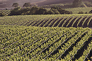 Napa Valley, California. Wine grape vineyards. Carneros region.