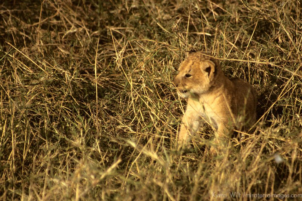 Africa, Kenya, Maasai Mara. Lion cub of the Mara.