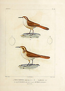 hand coloured sketch Top: Subspecies of Straight-billed Earthcreeper (Ochetorhynchus ruficaudus montanus [Here as Uppucerthia montana]) Bottom: rock earthcreeper (Ochetorhynchus andaecola [Here as Uppucerthia Andoecola]) From the book 'Voyage dans l'Amérique Méridionale' [Journey to South America: (Brazil, the eastern republic of Uruguay, the Argentine Republic, Patagonia, the republic of Chile, the republic of Bolivia, the republic of Peru), executed during the years 1826 - 1833] 4th volume Part 3 By: Orbigny, Alcide Dessalines d', d'Orbigny, 1802-1857; Montagne, Jean François Camille, 1784-1866; Martius, Karl Friedrich Philipp von, 1794-1868 Published Paris :Chez Pitois-Levrault et c.e ... ;1835-1847