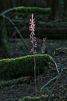 A beam of sunlight touches the top of this delicate orchid growing deep in the forest on the lower slopes of Mount Hood in Oregon.