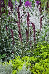 Lysimachia atropurpurea 'Beaujolais', Ozothamnus rosmarinifolius 'Silver Jubilee'. RHS Chelsea Flower Show 2016, The Husqvarna Garden,  Designer: Charlie Albone