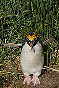 Macaroni penguin spreads wings in the tussock grass.