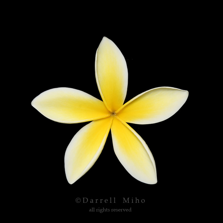 white and yellow plumeria flower on black background.<br /> <br /> &copy; Darrell Miho