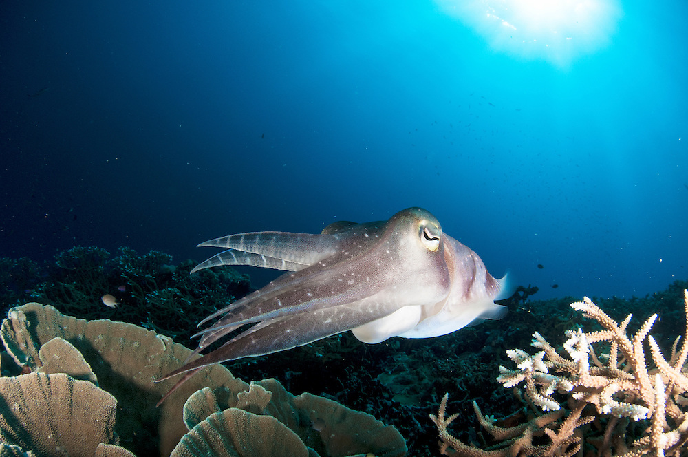Cuttlefish on a coral reef in Papua New Guinea