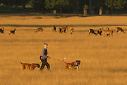 UNITED KINGDOM, London: 04 August 2015 A Londoner walks her dogs on a lead in front of a group of Roe deer during sunrise in Richmond Park this morning. After a day of sunshine today, it is set to rain tomorrow. Rick Findler / Story Picture Agency