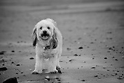 Black and White Portrait of Bella the Dog at the Beach
