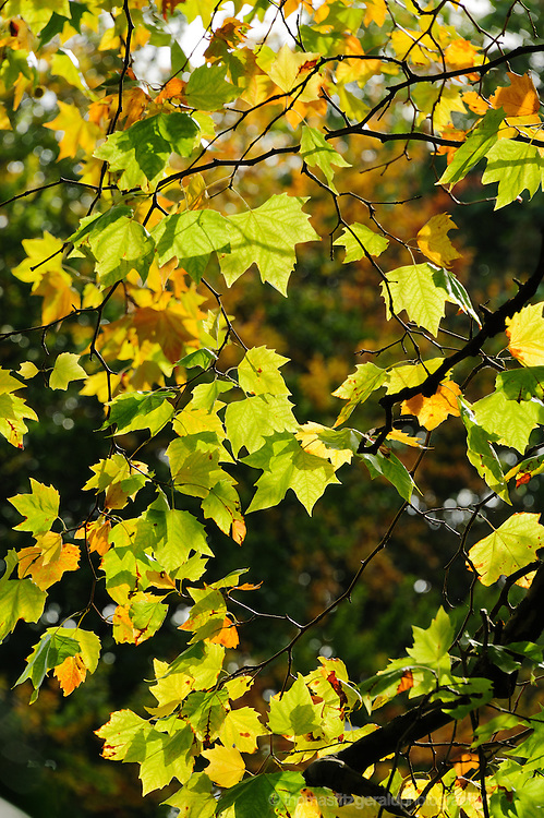 A group of Backlit Autumn Leaves swhining in the Fall sunshine