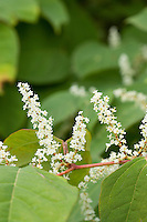 Flowers of Japanese Knotweed, an invasive plant of the British countryside