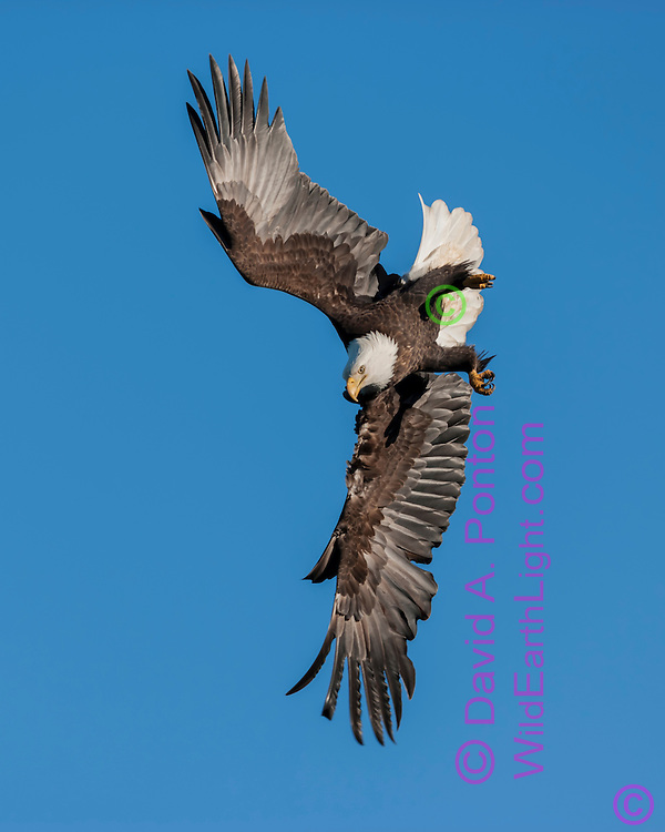 Bald eagle in diving flight against clear sky, © 2005 David A. Ponton