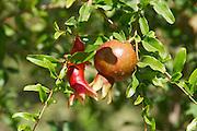 Uzbekistan, Bukhara. Pomegranate.