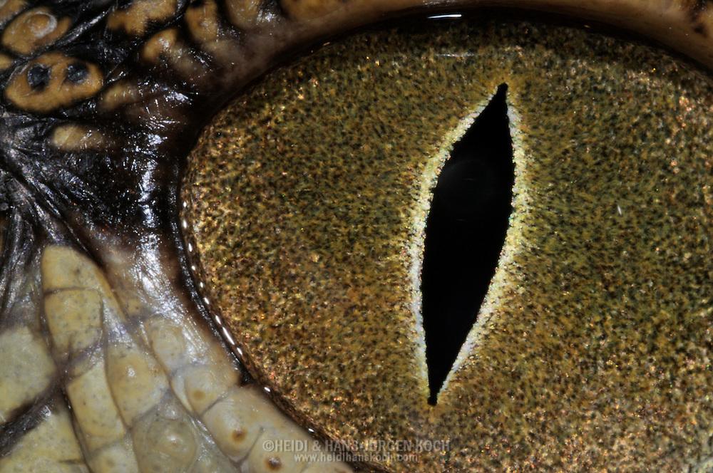 DEU, Deutschland: Auge von einem Nilkrokodil (Crocodylus niloticus), Augentyp: Linsenauge; sehr gutes Sehvermoegen da nachtaktiv, bei Tageslicht zu Schlitz verengte senkrechte Pupille, Augengroesse ca. 12 mm, Muenchen, Bayern   DEU, Germany: Eye of a Nile crocodile (Crocodylus niloticus), type of eye: lens eye, very good sight because of nocturnal activity, by daylight constricted to vertical pupil, size of eye circa 12 mm, Munich, Bavaria